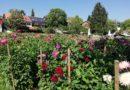 Tourenradler besuchen Dahlienblüte
